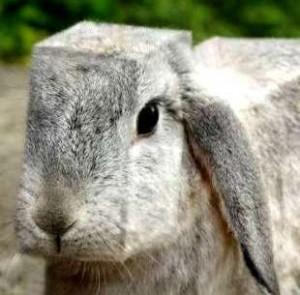 square-hare